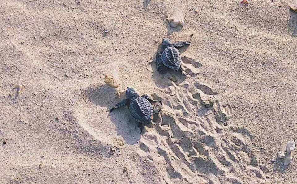 Inaladelan Island Resort Together With DENR Released A New Batch Of Baby Turtles